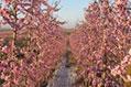 Los agricultores catalanes de fruta dan pérdidas en la última campaña