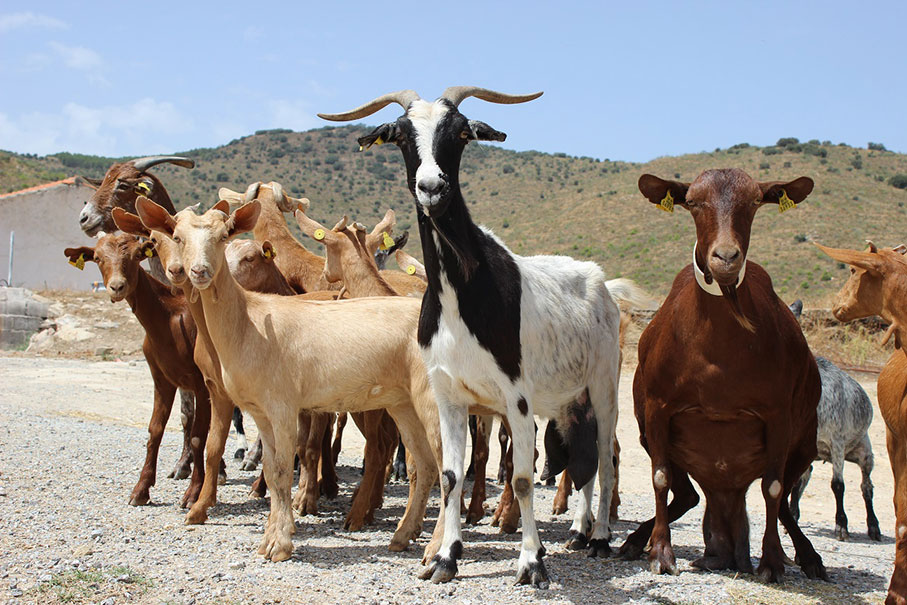 Cabras posando