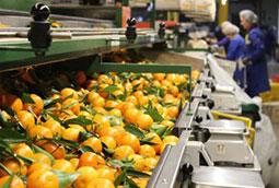 España es en cítricos lo que Holanda en tomate: los reyes del comercio mundial