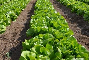 BASF ofrece Soluciones AgCelence para el cultivo de lechuga