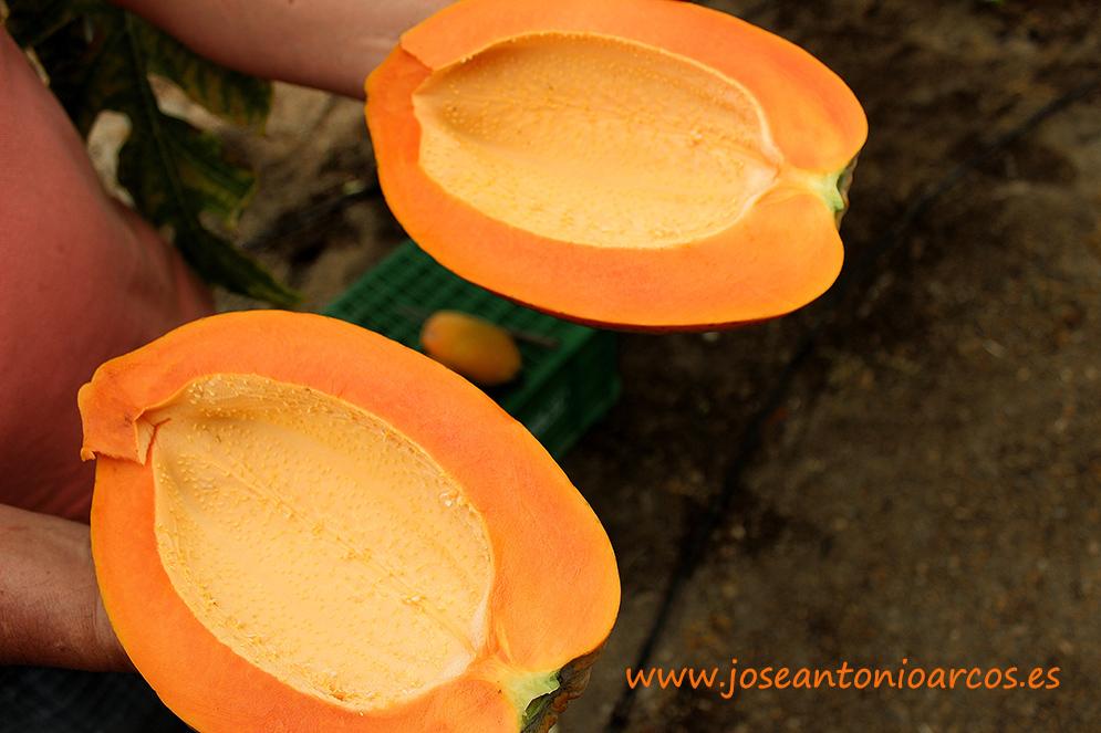 Enésima jornada para introducir la papaya en el invernadero