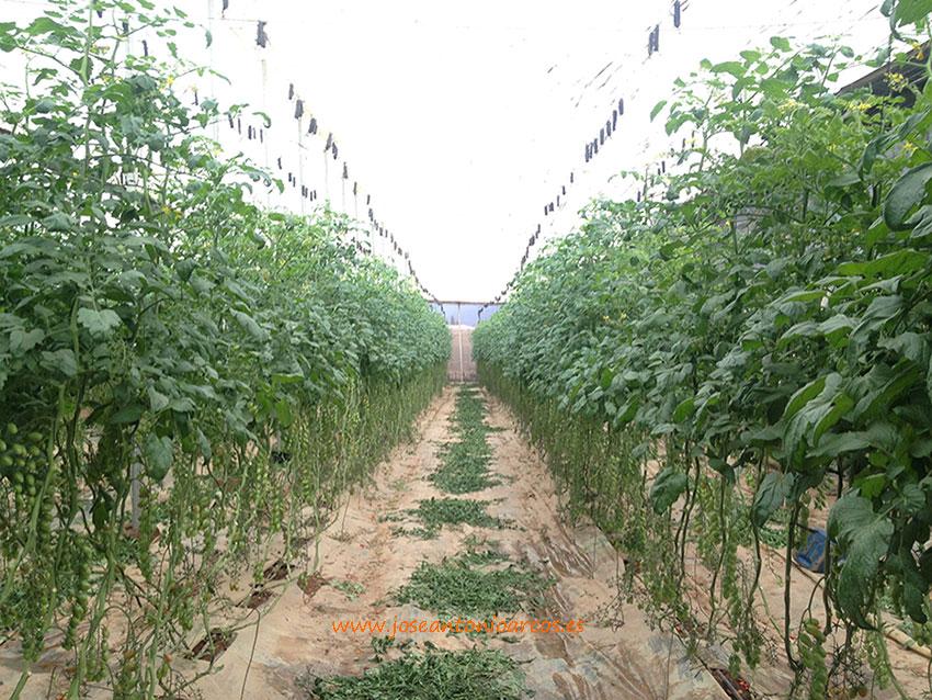 tomate-marroquí