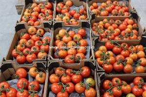 tomates almerienses destinados a la exportación