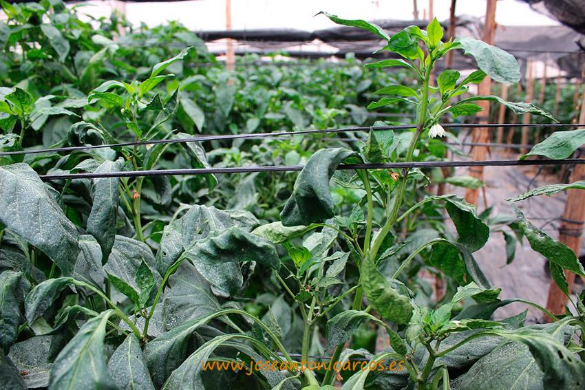 Daños-en-cultivo-de-pimiento