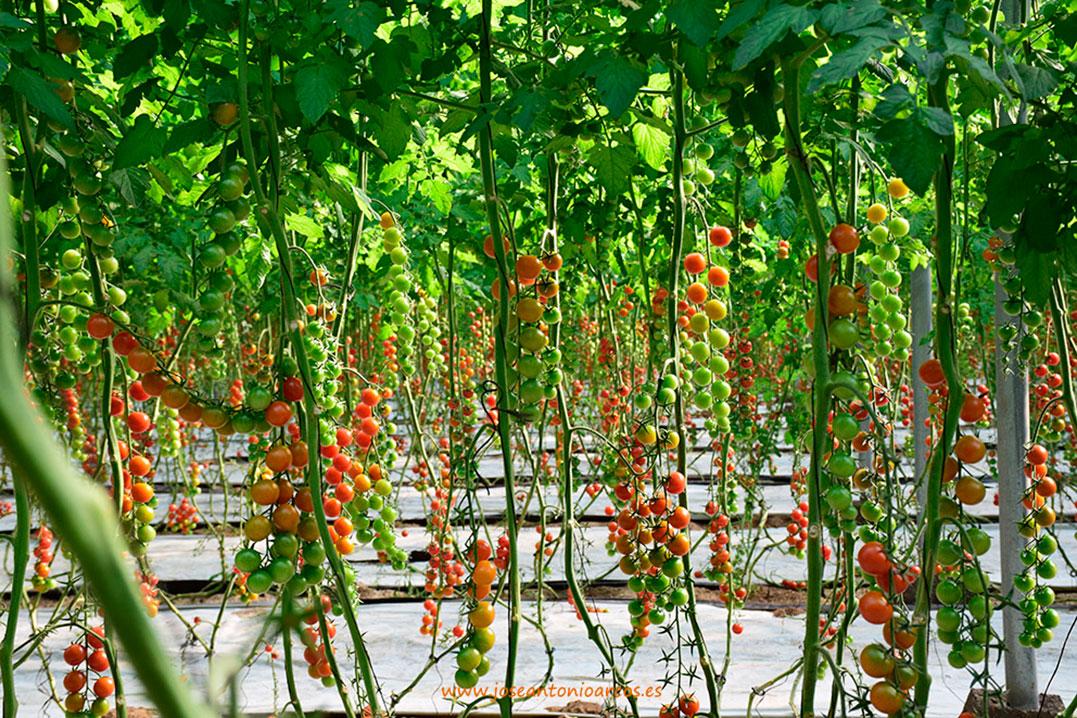 Un bosque de cherrys eclosiona bajo las cubiertas del campo de Níjar