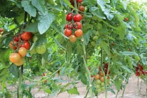 Tomates de Enza Zaden