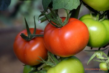 Autorización provisional de fitosanitarios para tomate fresco e industrial