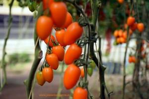 Cherry-naranja
