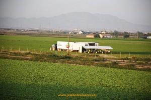 Envasando lechugas en el campo en la región de Murcia