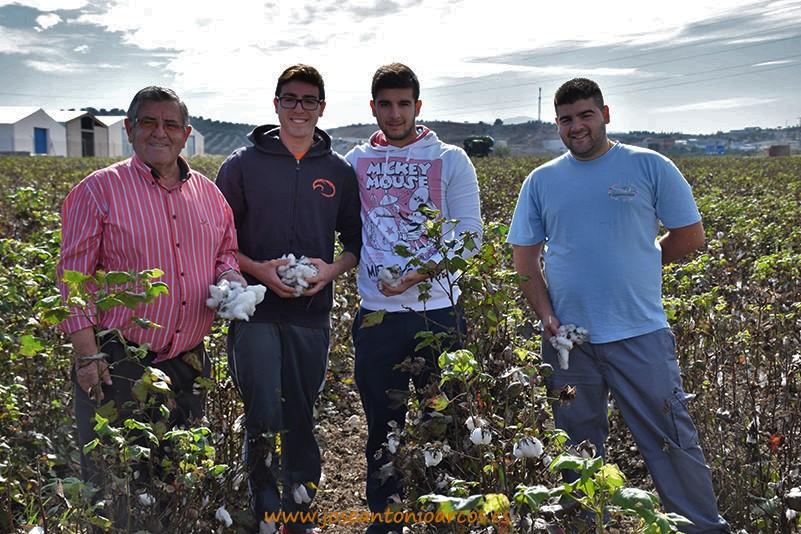 Recogiendo algodón en los campos de Jaén (incluye vídeo)