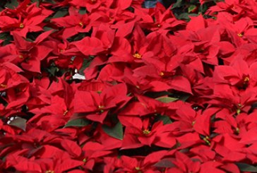 La mitad de los pascueros navideños son de El Ejido