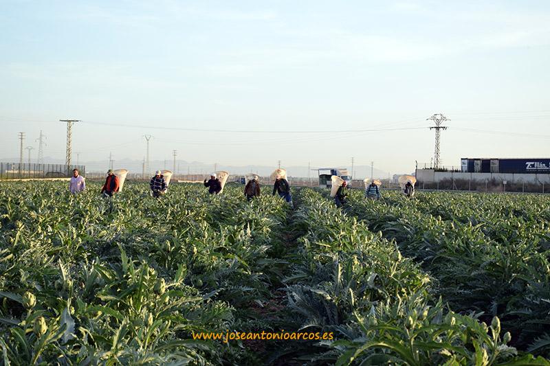 Recolectando alcachofas en el campo de Cartagena