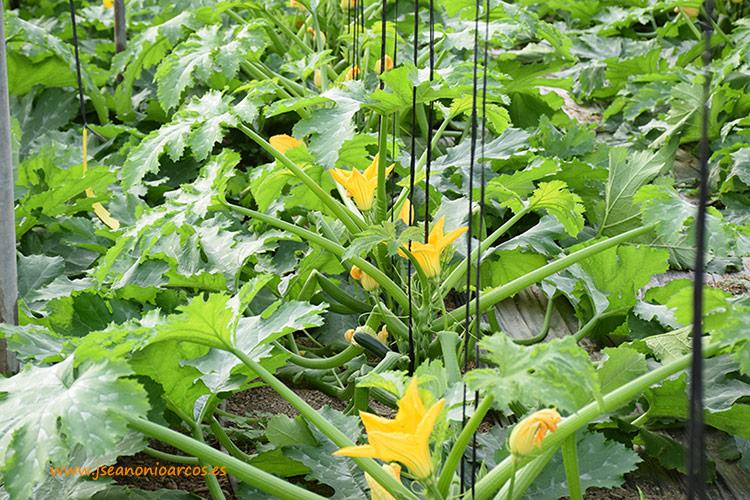 Plantación joven de calabacín sin síntomas del Nueva Delhi