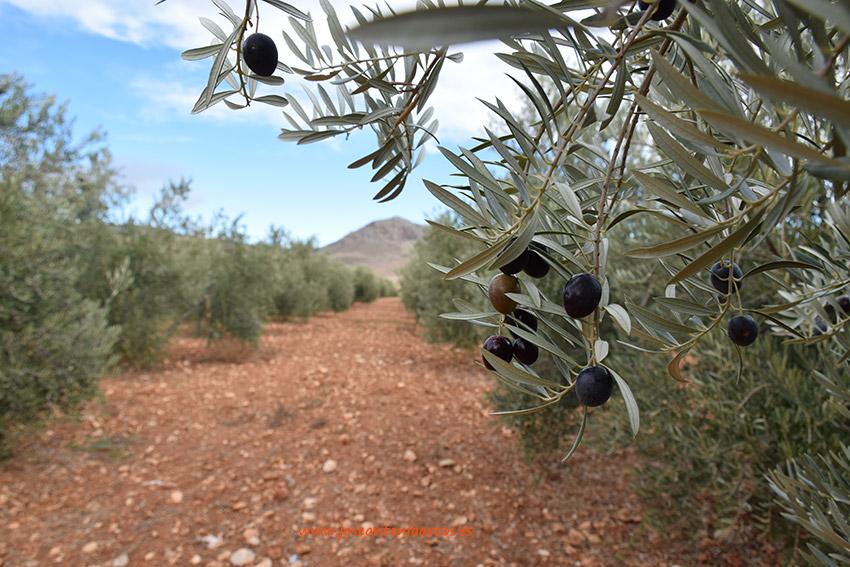 Se confirma más aceite este próximo año en el olivar andaluz