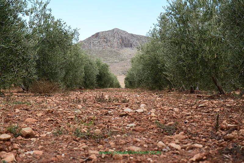olivar en la provincia de Granada