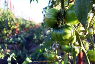 (vídeo) Acaba la campaña de tomate al sur de Madrid