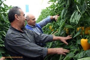 Agricultores viendo pimientos amarillos