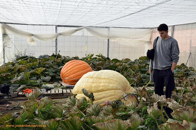Cultivo de calabazas gigantes