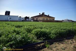 Cultivo de zanahoria en Cádiz
