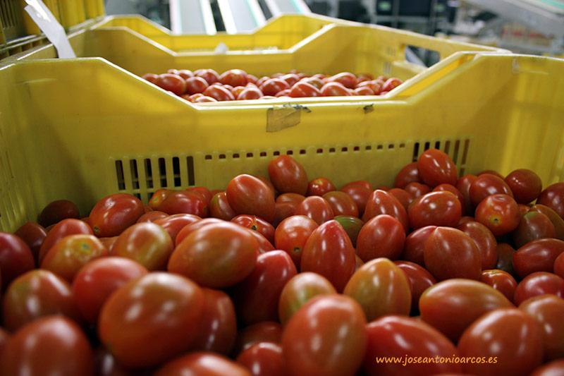 Tomate de territorio saharaui: cooperativas y sindicatos exigen que se aclare su etiquetado