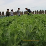Novedades en hoja, brásicas y otros cultivos de invierno. Centro 'La Marina' de RZ