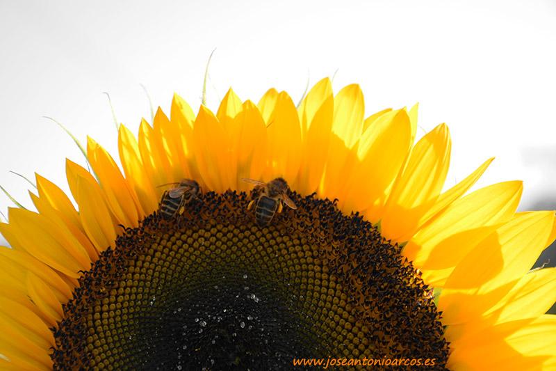 Las abejas en peligro por la sequía