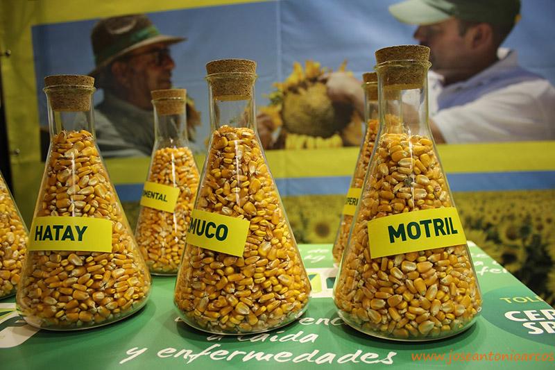 Novedades en maíz de Semillas Fitó Hatay y Temuco