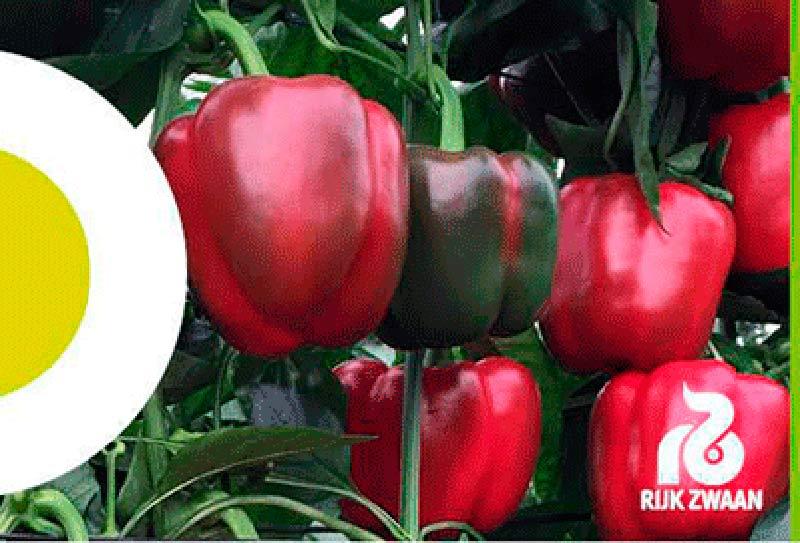 Días 18 y 19 de febrero. Jornada de nuevas variedades de pimiento california de Rijk Zwaan.