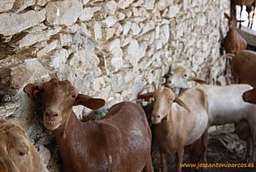 Cabrandalucía y las seis razas caprinas autóctonas andaluzas
