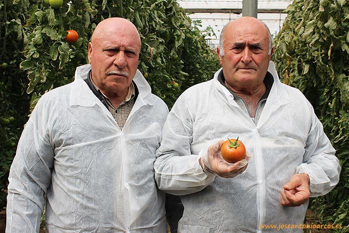 agricultores de Almería en un invernadero de tomate Jayena de Seminis