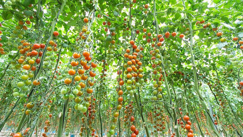 (vídeo) Golosinas muy productivas. Corintia, miles de cherrys