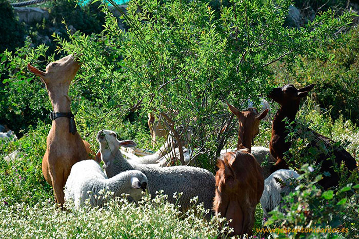 cabras y ovejas pastando en la Alpujarra de Granada Gualchos