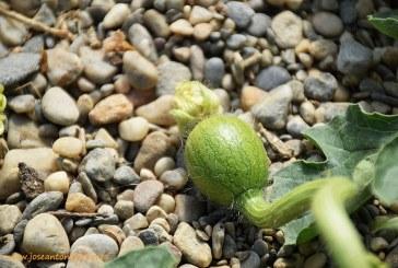 Crece la polinización con abejorros en melón y sandía