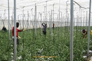 Trabajadores españoles e inmigrantes en un invernadero de tomate de Almería