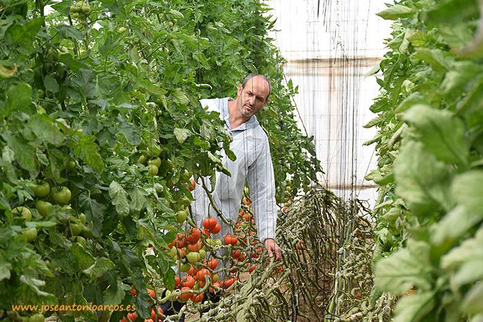 invernaderos El Alquián, Almería, Seminis, tomate suelto rojo Bateyo, agricultura