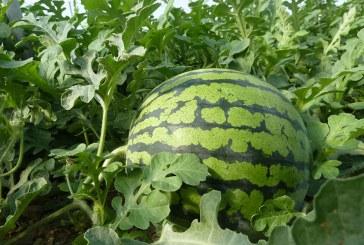 Vegacañada se vuelca en los preparativos de la campaña de melón y sandía