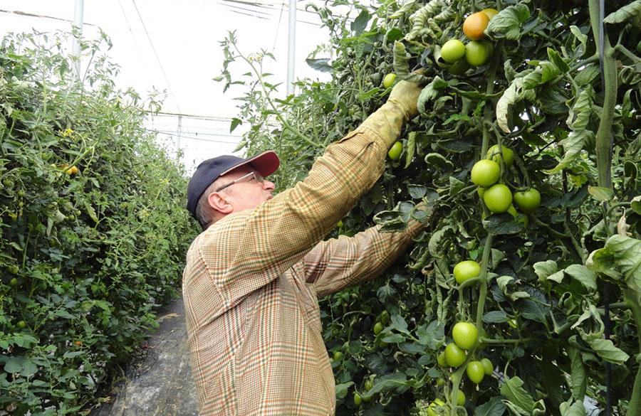 España es el país que más tomate produce y peor lo vende