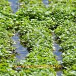 (vídeo) Los berros de agua de Jerez de la Frontera