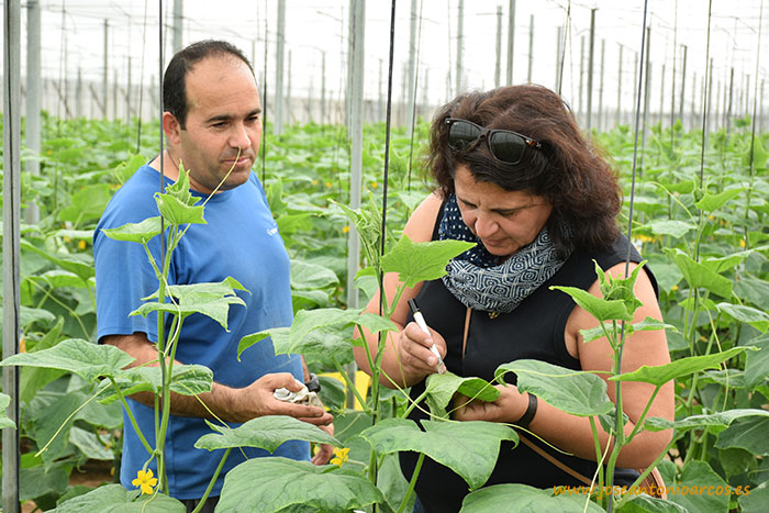 agricultores pepino Almería El Ejido SAMA invernaderos