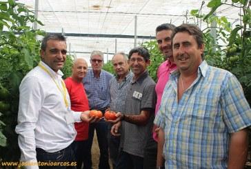 Cabrera es un nuevo tomate beef para temprano con calibre y dureza