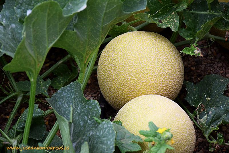 Cultivo melón