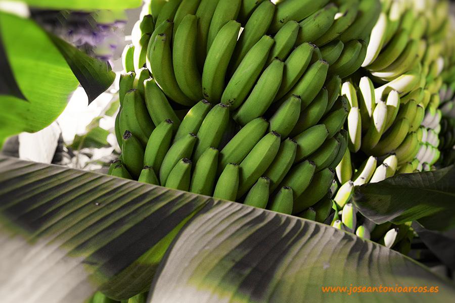 El aguacate gana terreno en las Canarias (y el plátano crece en kilos)