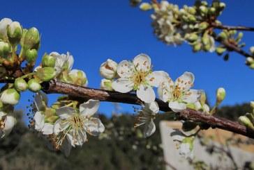 El ciruelo: un árbol introducido por los romanos en el siglo II D.C.