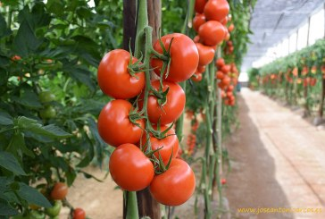 Ramas de 7 tomates de calibre G. 'Ateneo', de Fitó