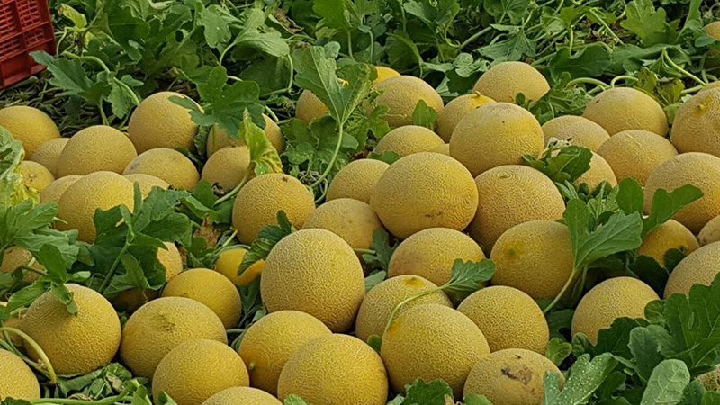 Nuevo melón galia de larga vida de HM Clause