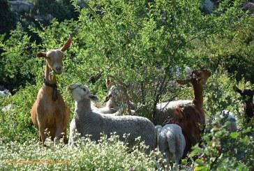Cae el precio de la leche de cabra y oveja