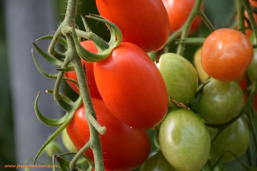 Cooperativas Agro-alimentarias reclama medidas ante la pésima campaña del tomate