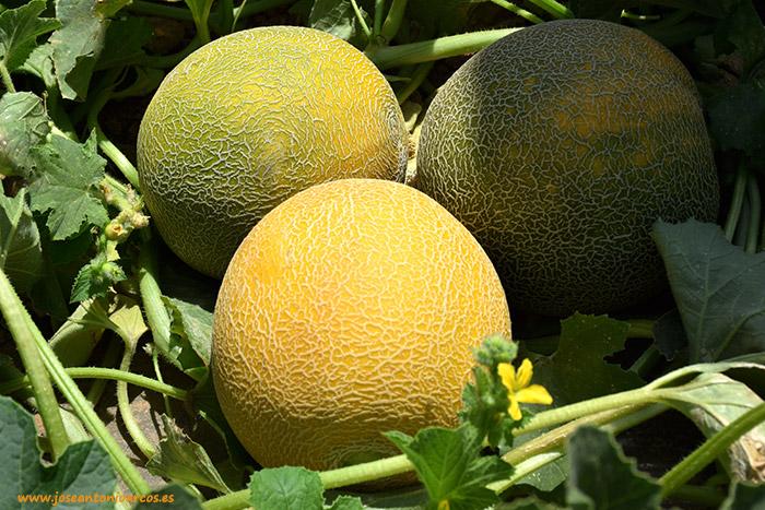El viraje de verde a amarillo indica la maduración del fruto y, por tanto, su corte.