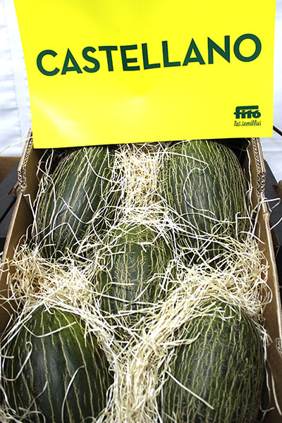 Novedad, melón piel de sapo 'Castellano'.