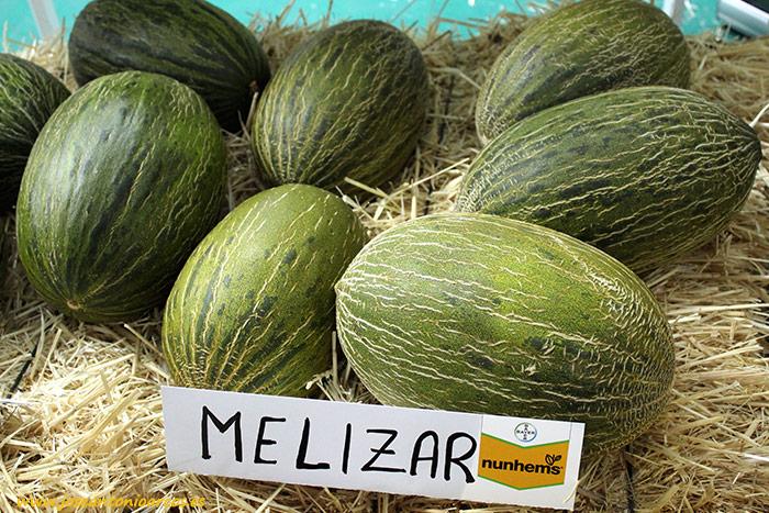 Variedad piel de sapo 'Melizar'. Melón de Nunhems